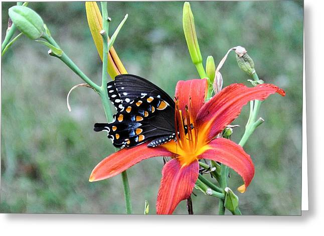 Daylily Delight 2 Greeting Card