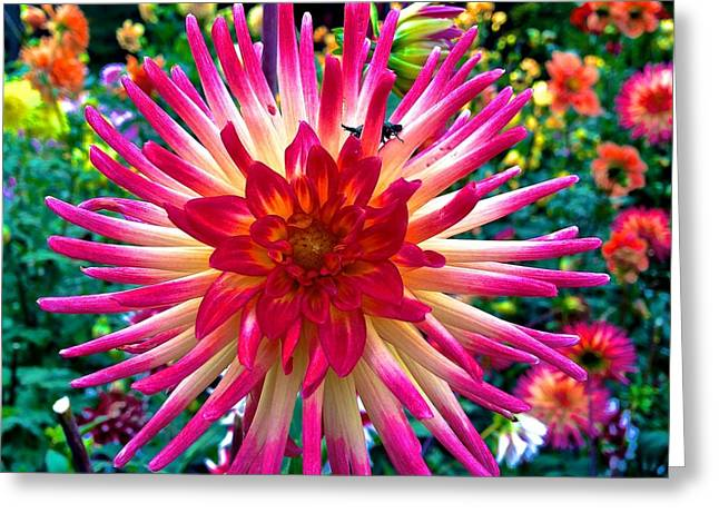 Dazzling Dahlia  Greeting Card