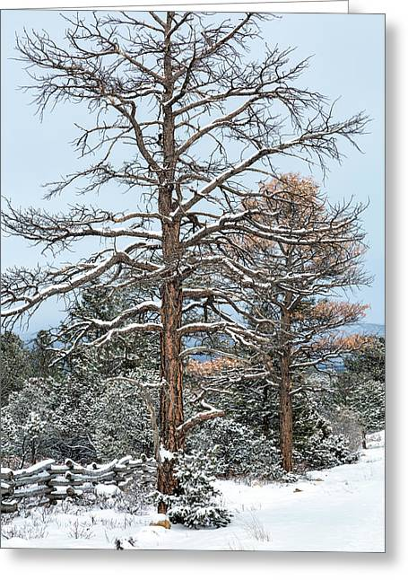Dead Ponderosa Pines In Winter Greeting Card