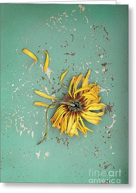 Greeting Card featuring the photograph Dead Suflower by Jill Battaglia