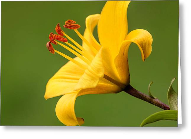 Dear Lily Greeting Card by Roy McPeak