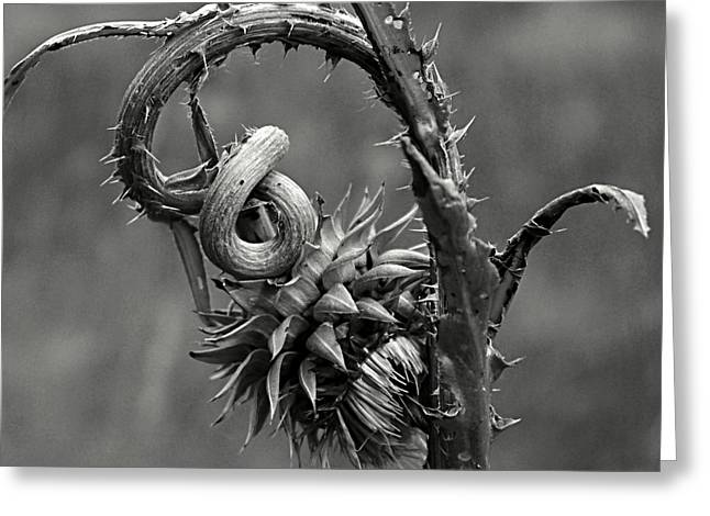 Dying Thistle Greeting Card