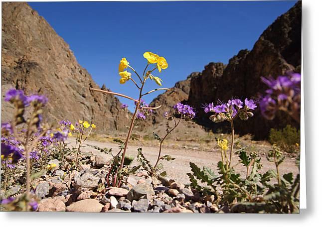 Death Valley Superbloom 100 Greeting Card by Daniel Woodrum