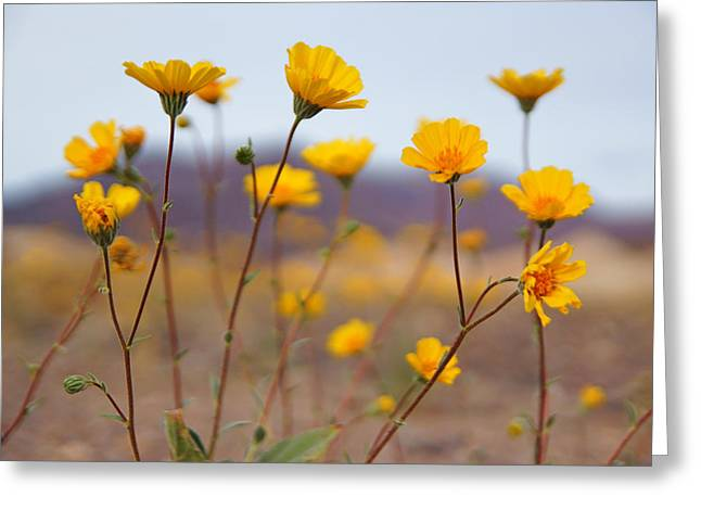 Death Valley Superbloom 200 Greeting Card by Daniel Woodrum