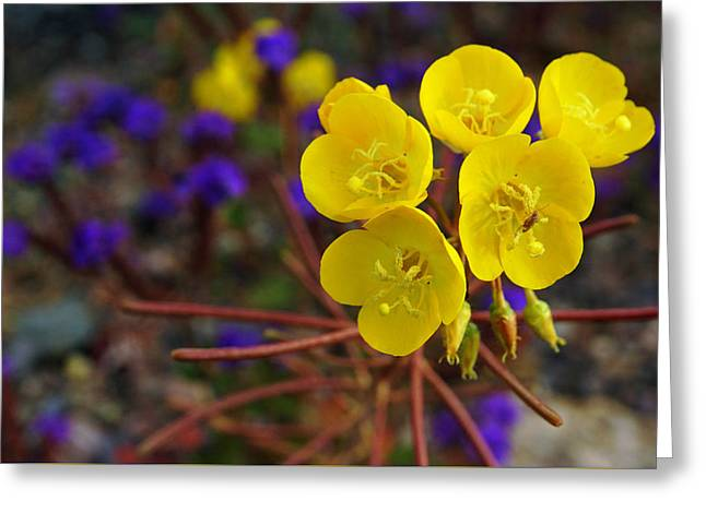 Death Valley Superbloom 206 Greeting Card by Daniel Woodrum