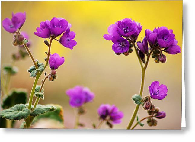 Death Valley Superbloom 506 Greeting Card by Daniel Woodrum