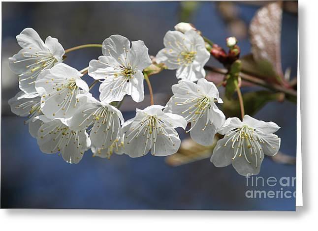 Deep Blue  Cherry Blossom Greeting Card
