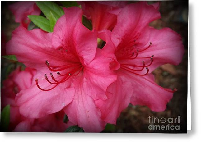 Deep Pink Rhododendrons Greeting Card