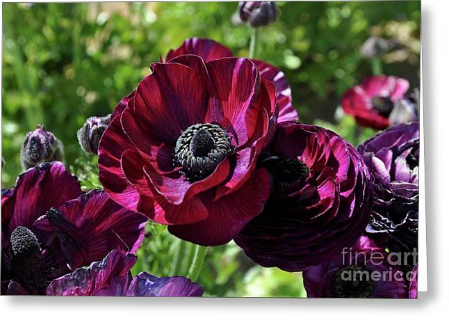 Deep Ranunculus Greeting Card