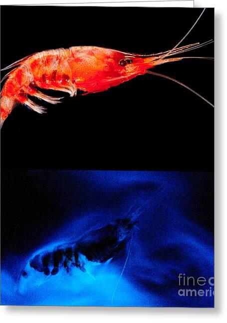 Deep Sea Shrimp With Luminous Cloud Greeting Card by Dant� Fenolio