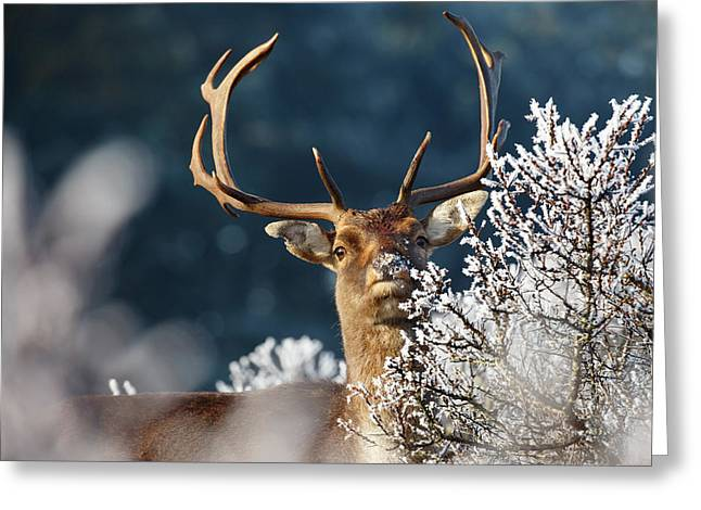 Deer And Hoar Frost Greeting Card by Roeselien Raimond