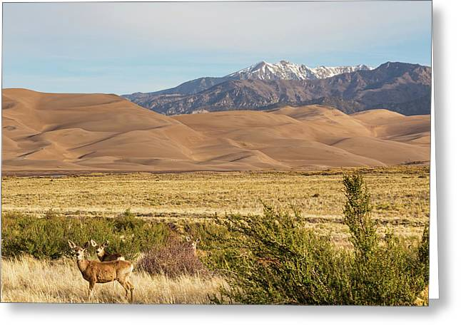 Greeting Card featuring the photograph Deer And The Colorado Sand Dunes by James BO Insogna