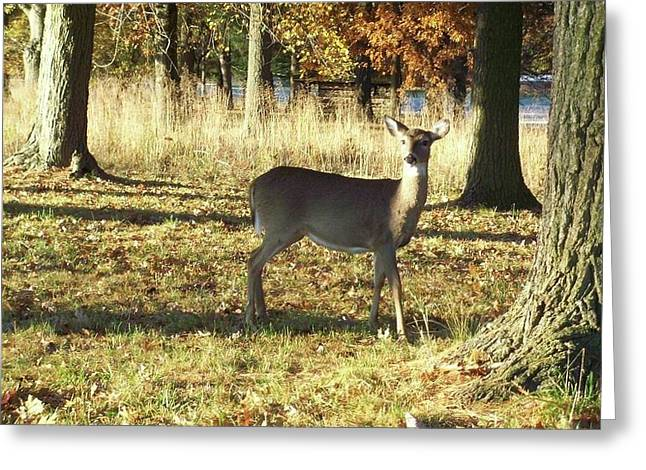 Deer At Valley Forge Greeting Card