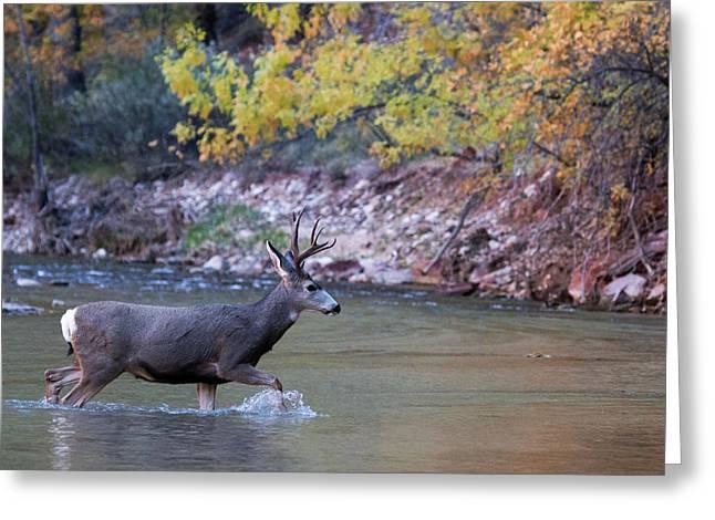 Deer Crossing River Greeting Card