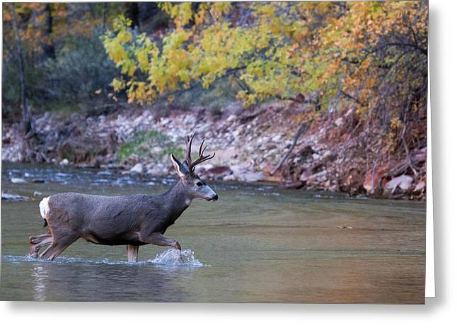 Greeting Card featuring the photograph Deer Crossing River by Wesley Aston