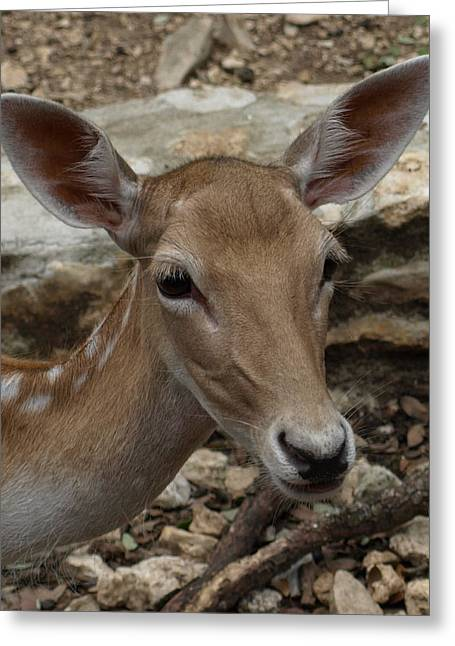 Deer Greeting Card by Dennis Stein