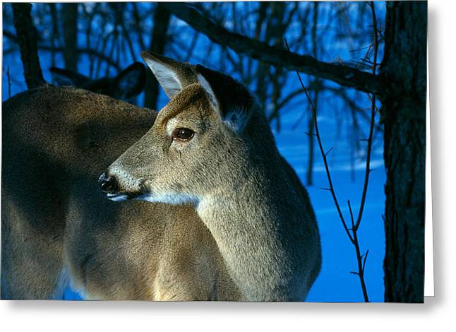 Deer Doe In Snowy Woods, Close Greeting Card by Panoramic Images