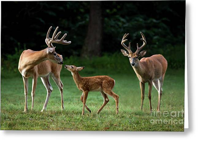 Greeting Card featuring the photograph Deer Family Portrait by Andrea Silies