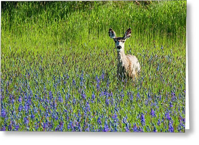 Deer In Lupine Greeting Card by Jean Noren