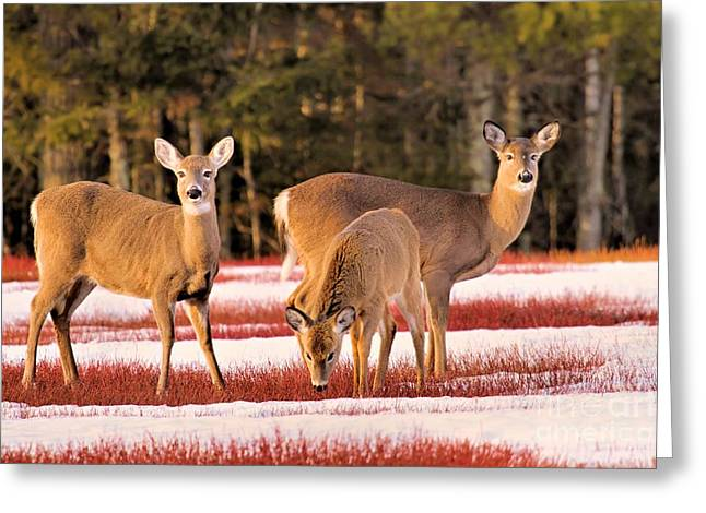 Deer In Snow Greeting Card