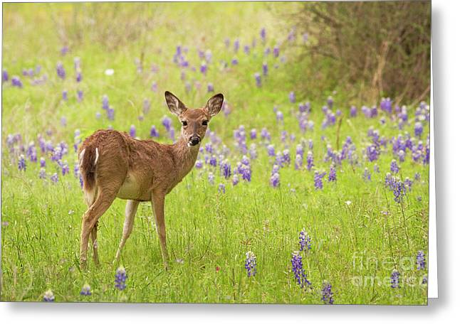 Deer In The Bluebonnets Greeting Card