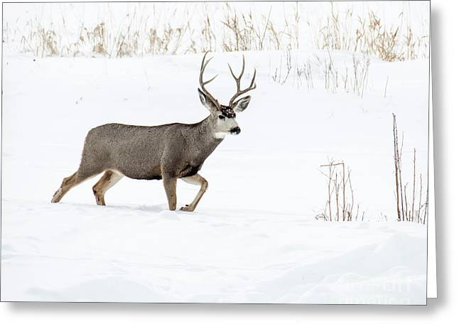 Greeting Card featuring the photograph Deer In The Snow by Rebecca Margraf