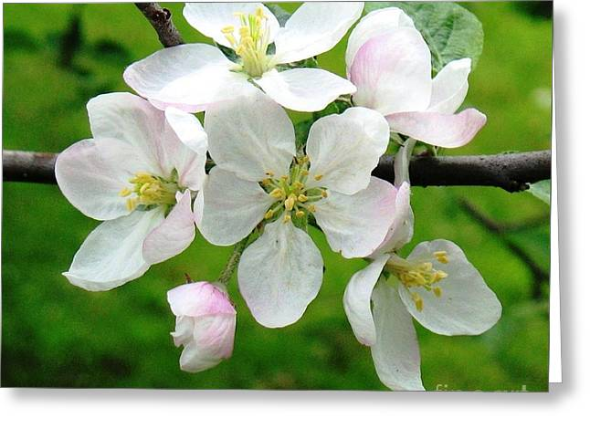 Delicate Apple Blossoms Greeting Card