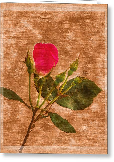 Delicate Bloom - Textured Rose Greeting Card by Barry Jones