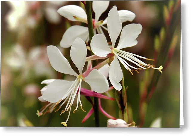 Delicate Gaura Flowers Greeting Card