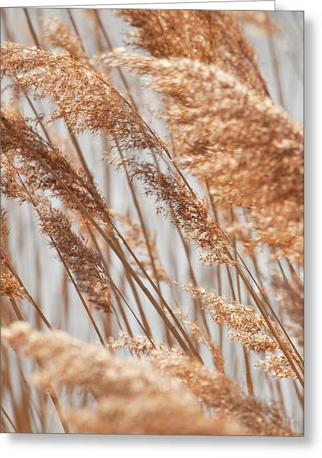 Delicate Grasses In Spring Greeting Card