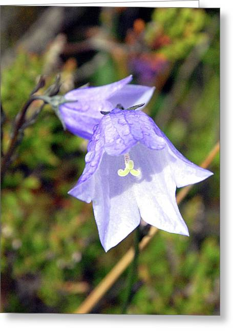 Delicate Harebell Greeting Card