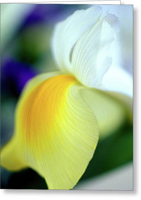 Floral Photos Photographs Greeting Cards - Delicate Iris Greeting Card by Kathy Yates