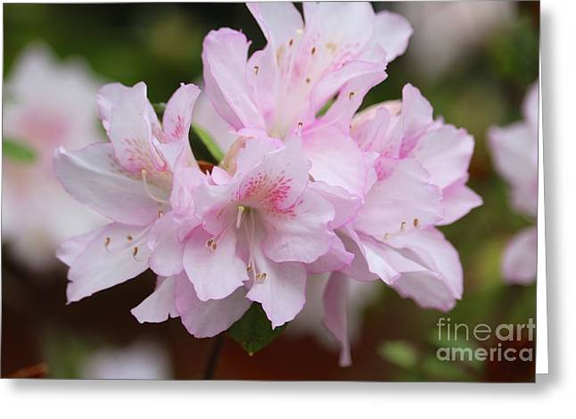 Delicate Pink Azaleas Closeup Greeting Card by Carol Groenen