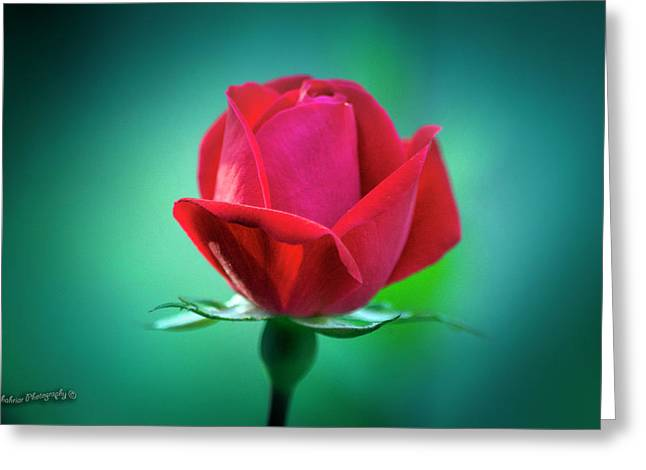 Delicate Rose Petals Greeting Card