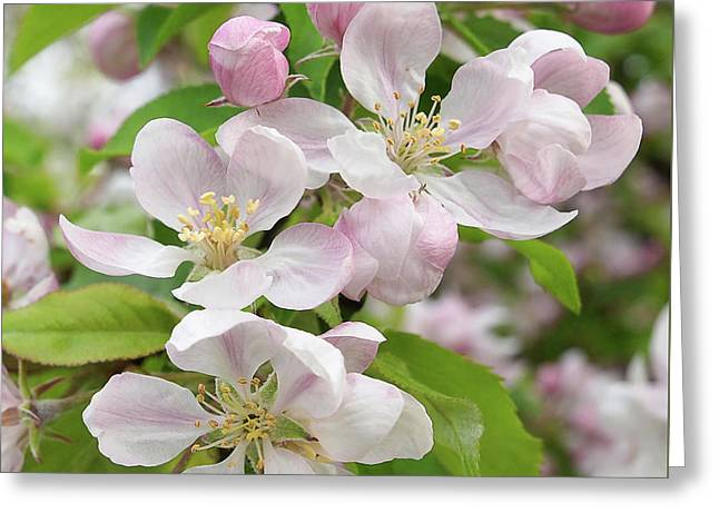 Delicate Soft Pink Apple Blossom Greeting Card by Gill Billington