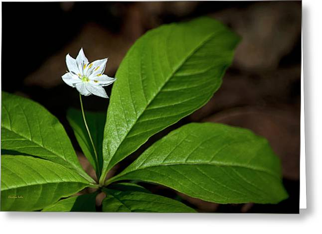 Delicate White Starflower Greeting Card by Christina Rollo