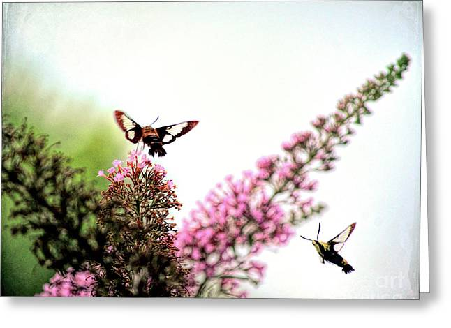 Greeting Card featuring the photograph Delight And Joy - Hummingbird Moths In Flight by Kerri Farley