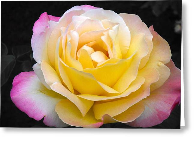 Delightful Blushing Rose  Greeting Card