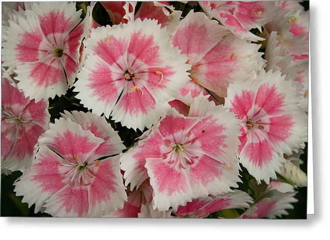 Delightful Dianthus Greeting Card by Jean Noren