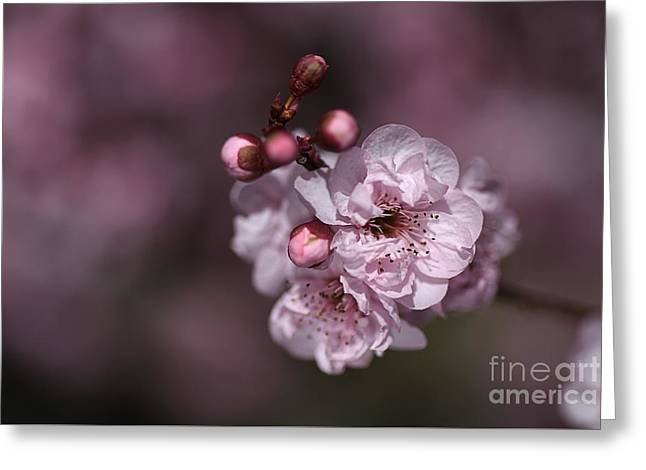 Delightful Pink Prunus Flowers Greeting Card by Joy Watson