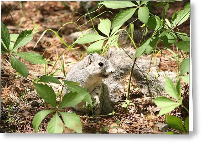 Delmarva Fox Squirrel - Local Rock Star Greeting Card