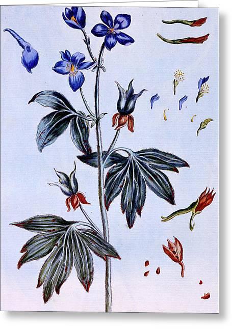 Delphinium Greeting Card by Pierre-Joseph Buchoz