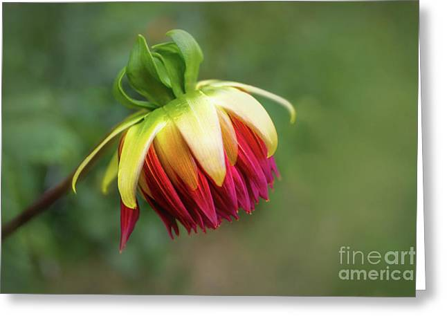 Demure Dahlia Bud Greeting Card