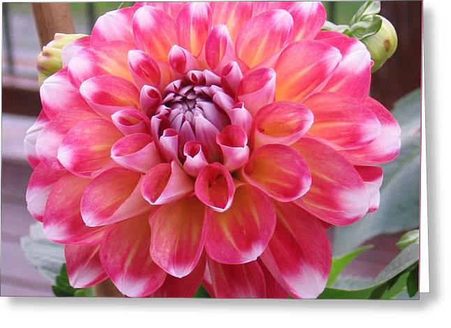 Denali Dahlia Greeting Card