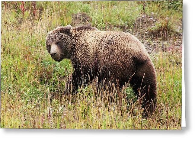 Denali Grizzly Greeting Card