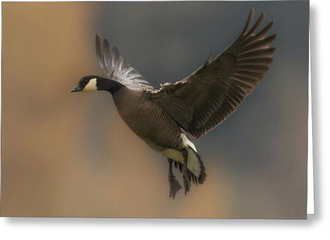 Greeting Card featuring the photograph Descending Goose by Angie Vogel