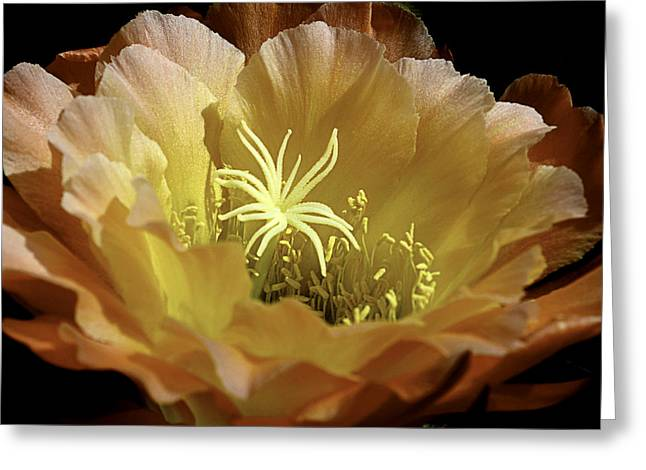 Desert Apricot Glow 2 Greeting Card by Julie Palencia