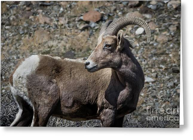 Desert Big Horn Sheep Greeting Card by Webb Canepa