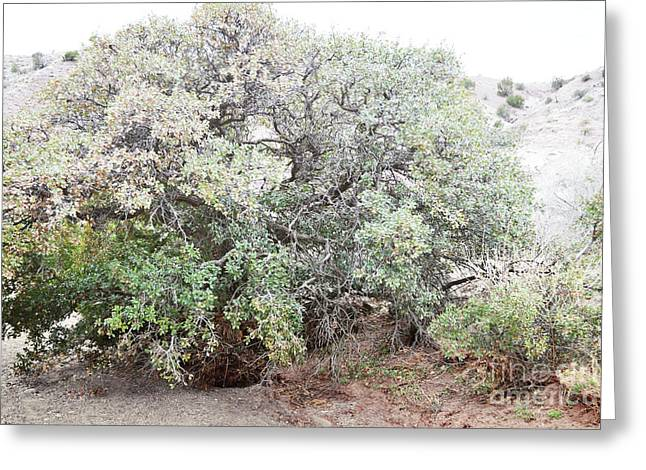 Greeting Card featuring the photograph Desert Canyon Tree by Andrea Hazel Ihlefeld