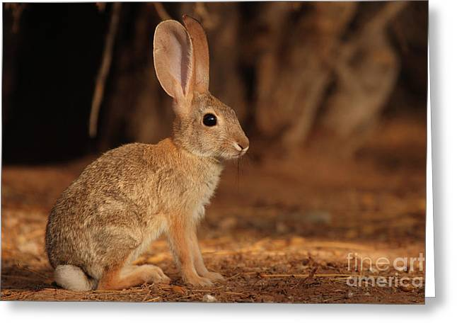 Desert Cottontail Posing Greeting Card by Max Allen